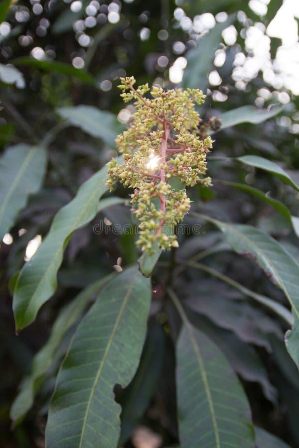 Fleurs de mangue image stock