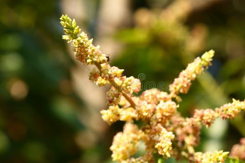Fleurs de mangue dans la branche d'arbre image stock
