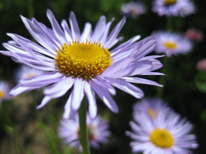 Fleurs de marguerite photo stock