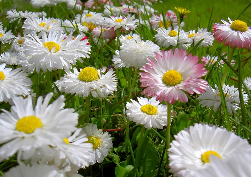 Fleurs de marguerite photo stock