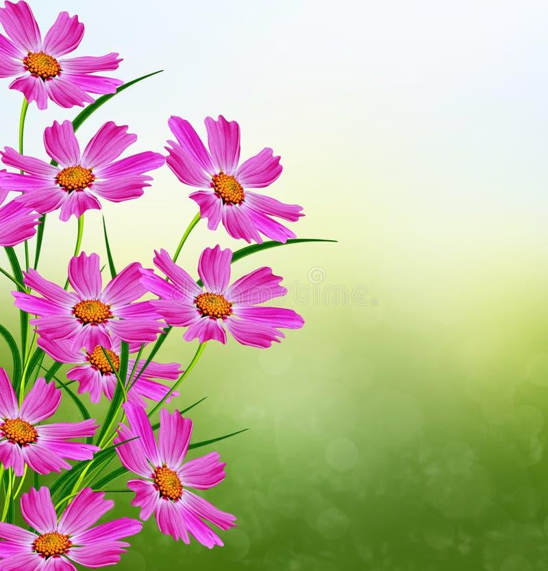 Fleurs de marguerite photo stock image du marguerite - Image fleur marguerite ...