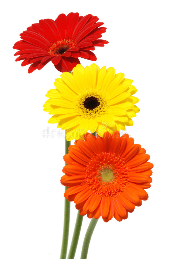 Fleurs de marguerite de Gerber d'isolement sur le blanc photo libre de droits