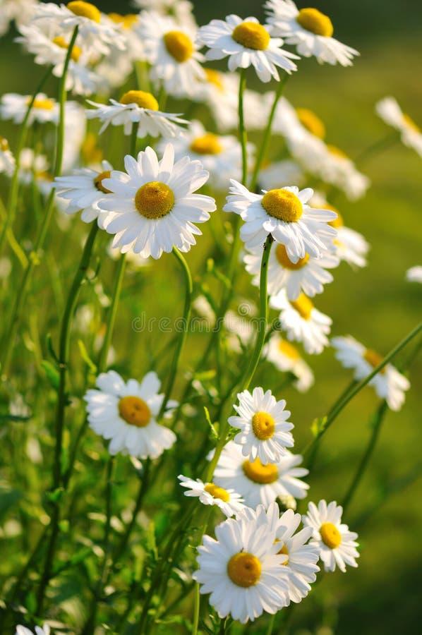 Fleurs de marguerite de Shasta photographie stock