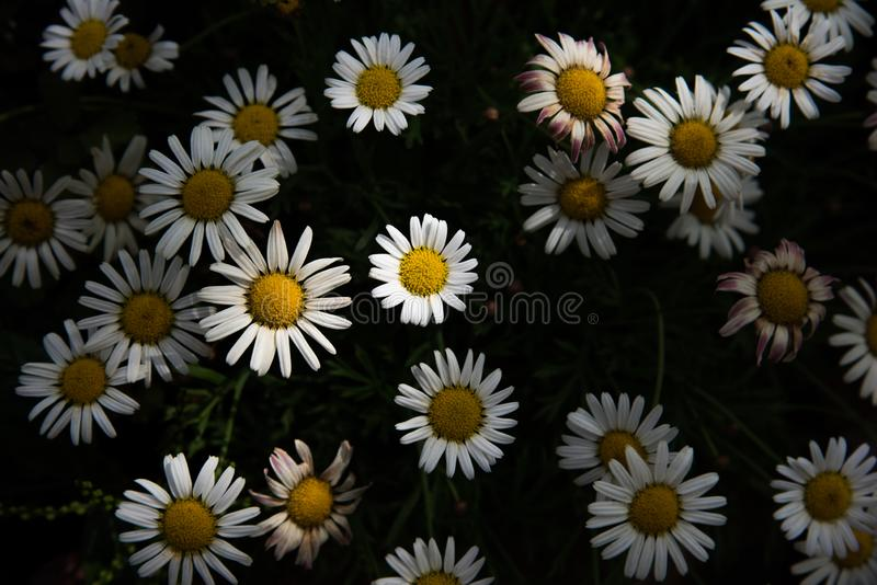 Fleurs de marguerite fleurissant dans le jardin Concept ext?rieur de nature Ton discret et contrasté photographie stock libre de droits