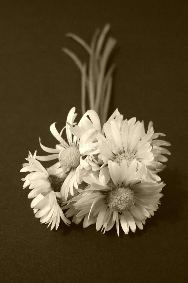 Fleurs de marguerite, sépia photos libres de droits