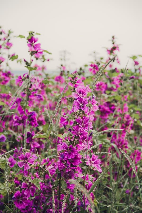 Fleurs de mauve photographie stock libre de droits