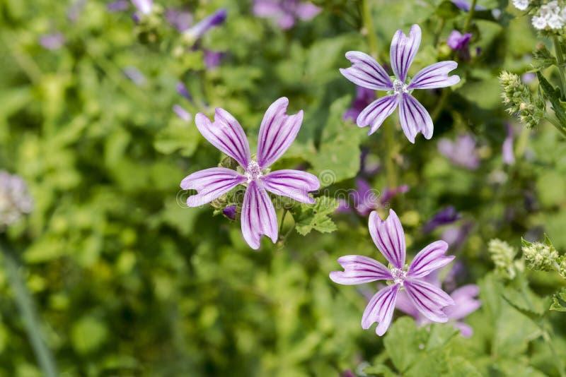 Fleurs de mauve commune photographie stock libre de droits