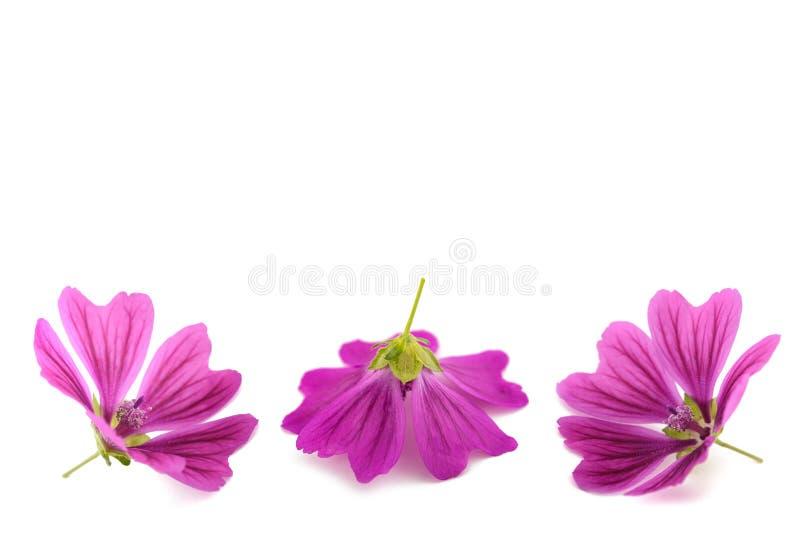 Fleurs de mauve photo libre de droits