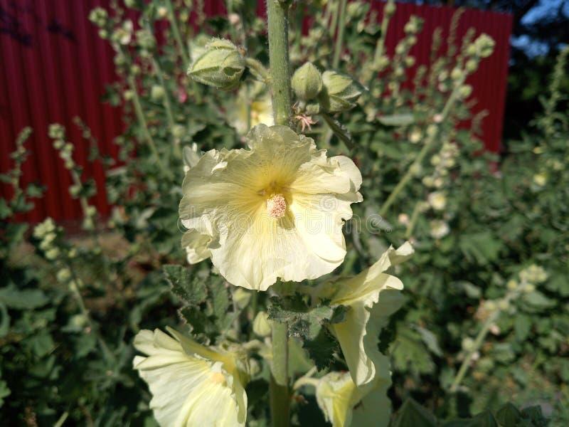Fleurs de mauve Fleurs de Malva photographie stock libre de droits