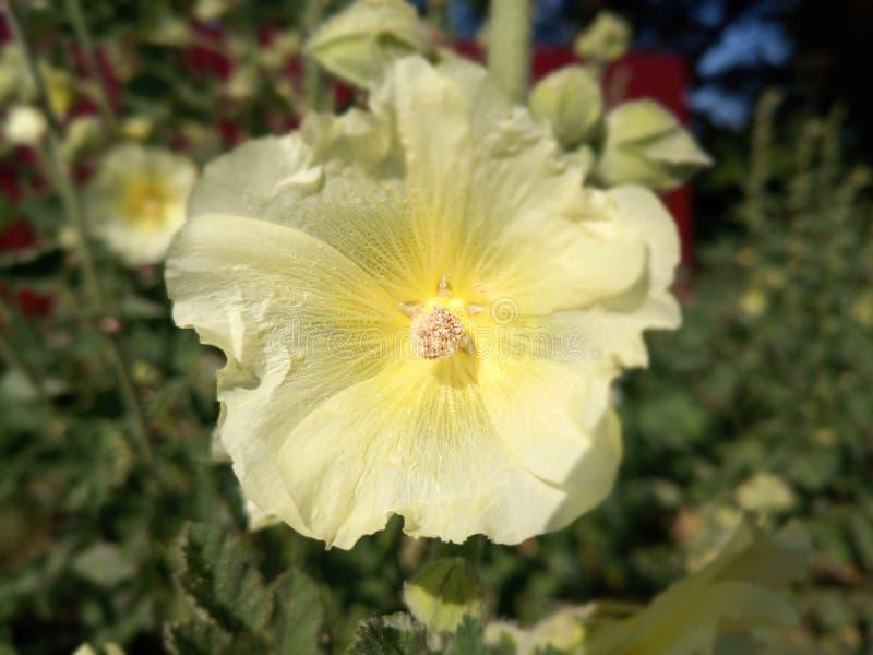 Fleurs de mauve Fleurs de Malva image libre de droits