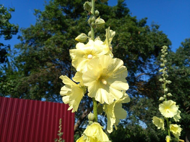Fleurs de mauve Fleurs de Malva images libres de droits