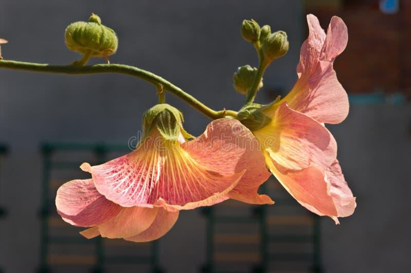 Fleurs de mauve sur un branchement photo libre de droits