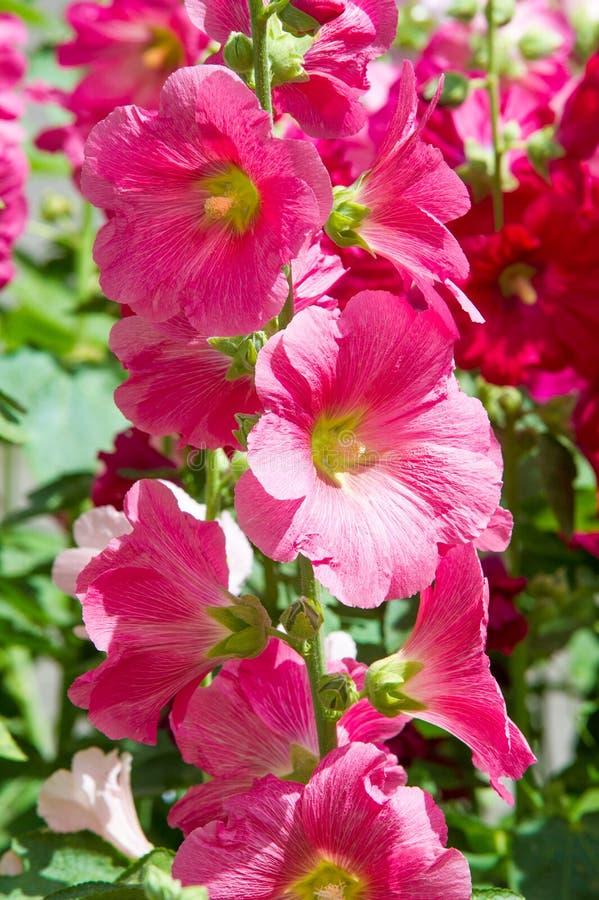 Fleurs de mauve une usine herbacée de tiges velues, de rose ou de pur photos libres de droits