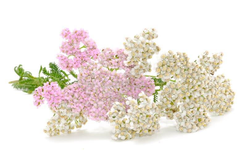 Fleurs de millefeuille (Achillea) image libre de droits