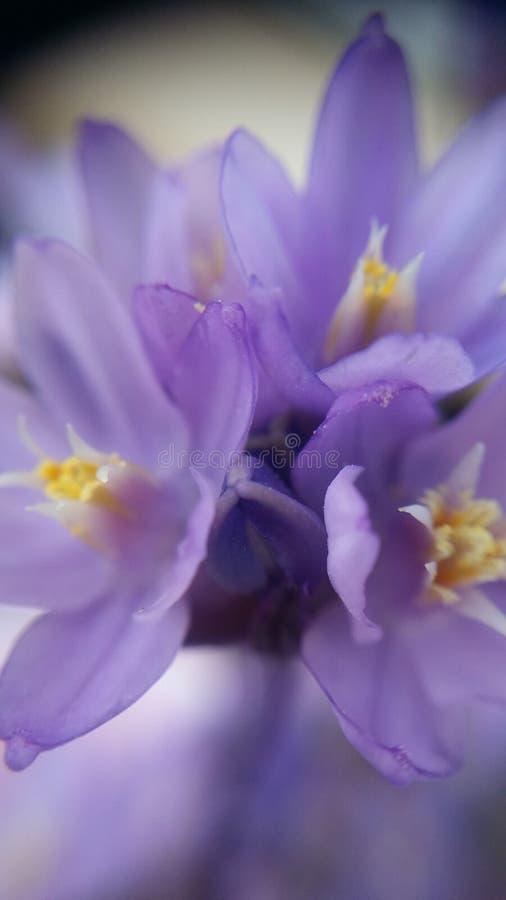Fleurs de Mojave image libre de droits