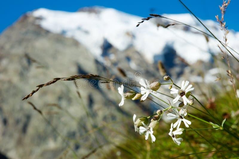 Fleurs de montagne photos libres de droits