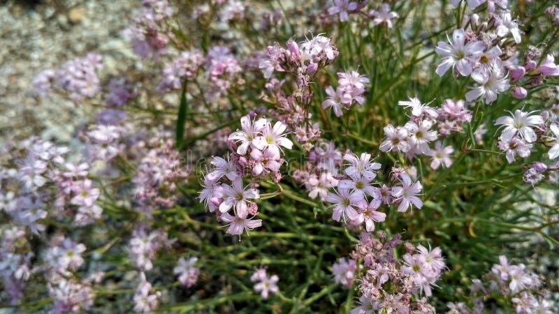 Fleurs de montagne et plantes alpines du bord froid du nord photographie stock