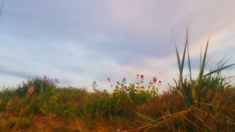 Fleurs de montagne par la plage photos libres de droits