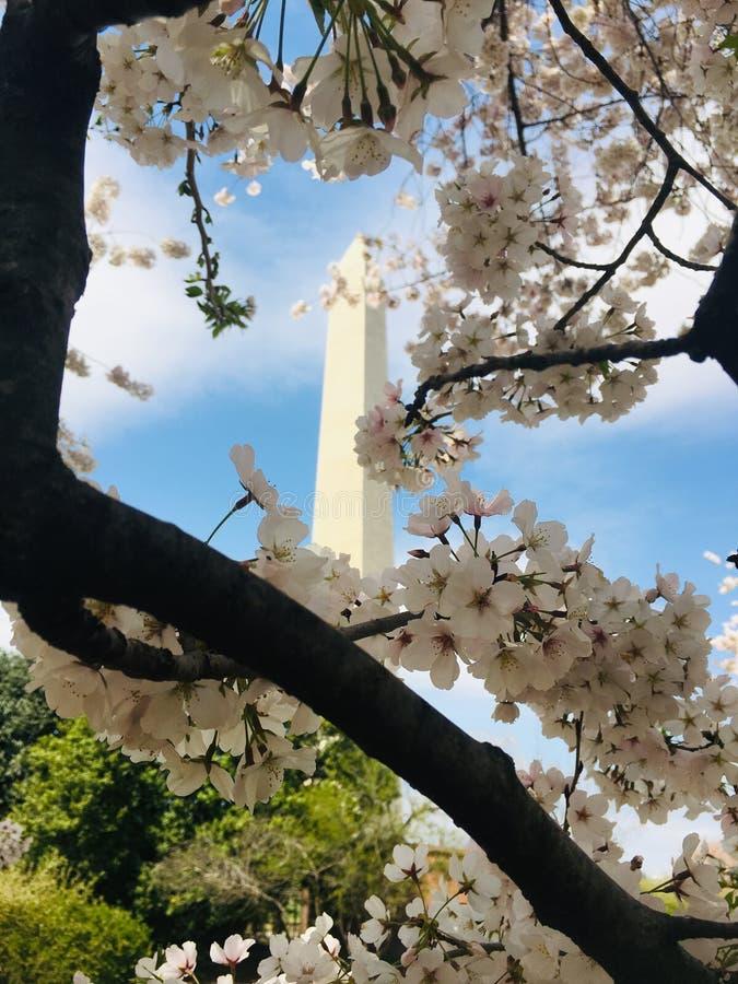 Fleurs de monument et de cerise de Washington photos stock