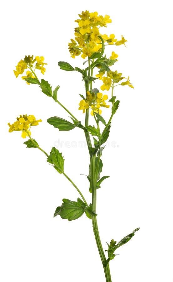 Fleurs de moutarde sauvage d'isolement sur le blanc photographie stock libre de droits