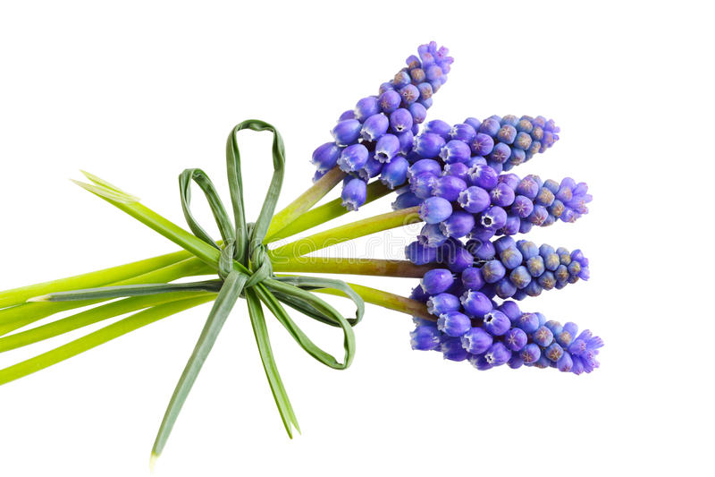 Fleurs de Muscari photos stock