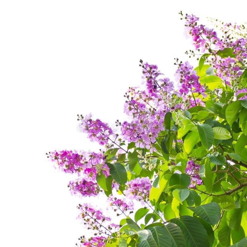 Fleurs de myrte de crêpe de Queens photos stock