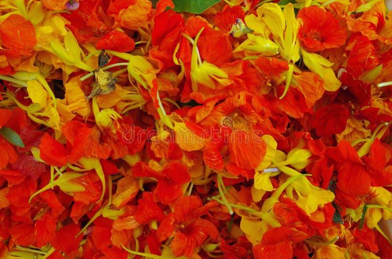 Fleurs de nasturtium comestibles images libres de droits