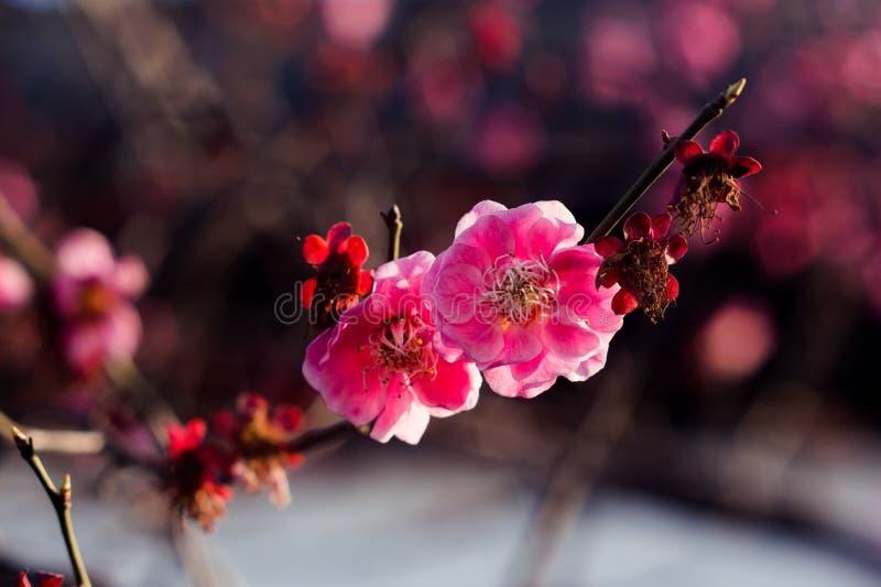 Fleurs de nature de prune photo stock
