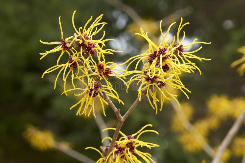 Fleurs de noisette de sorcière photos stock