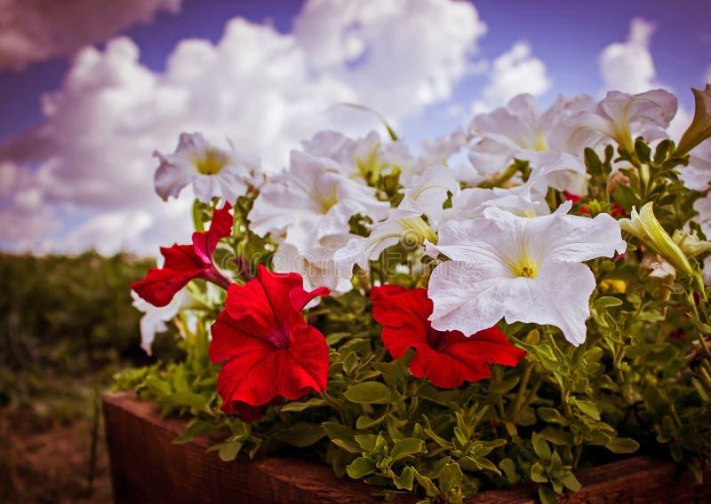 Fleurs de pétunia contre le ciel photos stock