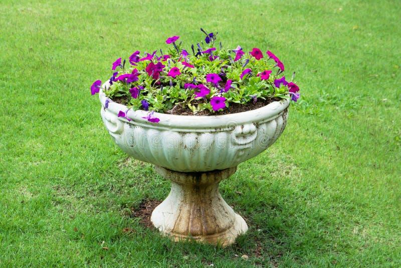 Fleurs de p?tunia dans le pot de fleurs blanc d'?l?gance sur la pelouse image libre de droits