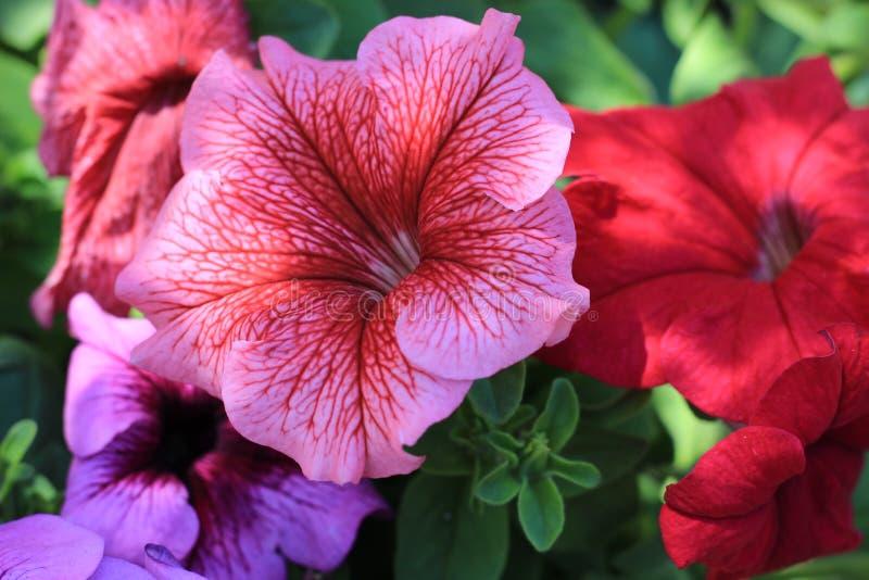 Fleurs de pétunia Fond floral de la fleur Garden images stock