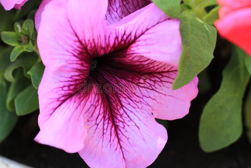 Fleurs de pétunia Fond floral de la fleur Garden photo libre de droits