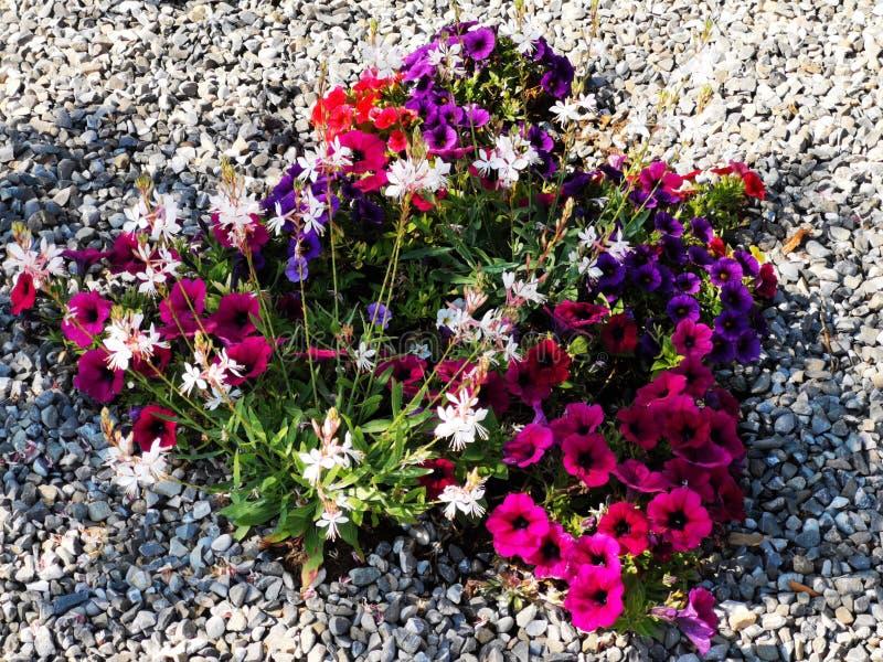 Fleurs de pétunias dans l'ombre de gravier photographie stock libre de droits
