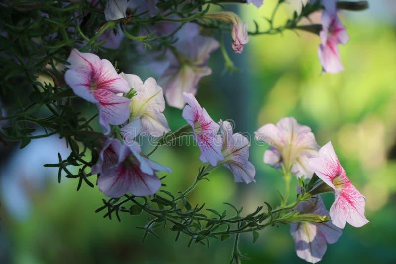 Fleurs de pétunias molles et fleur lumineuse accrochant sur le panier dans flore de saison d'été la belle à l'arrière-plan de nat photos libres de droits