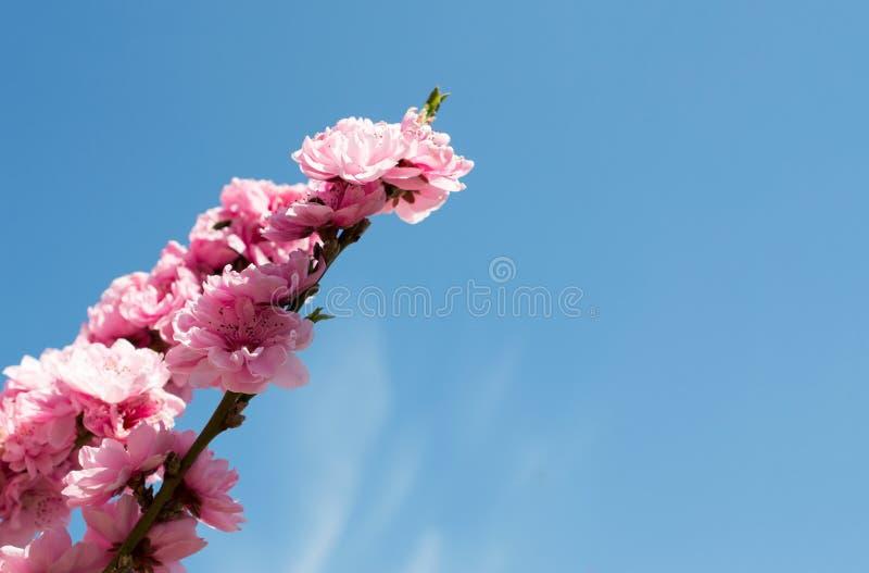 Fleurs de pêche sur une petite branche sensible images stock