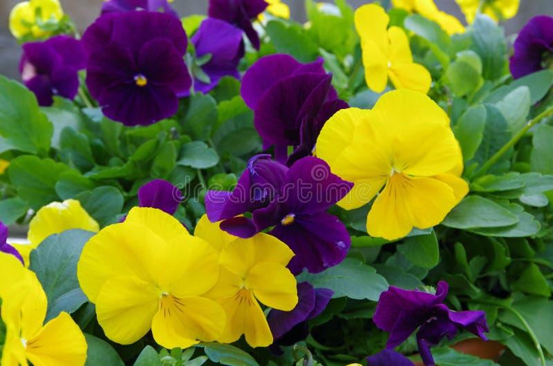 Fleurs de Pansy jaunes et violets délicieuses photo libre de droits