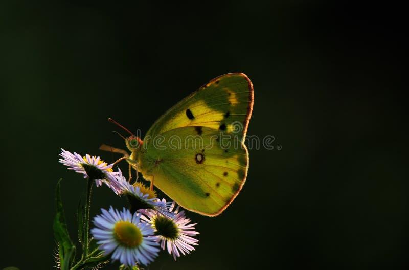 Fleurs de papillon images libres de droits