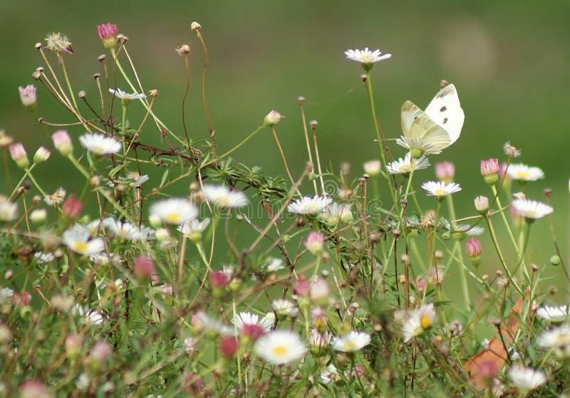 Fleurs de papillon blanches images stock