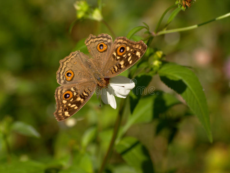 Fleurs de papillon de Brown et d'aiguille espagnole photos libres de droits