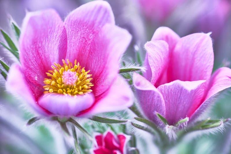 Fleurs de Pasque photographie stock