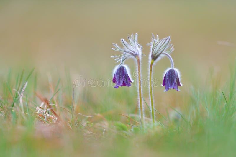 Fleurs de pasque pourpres sur des montagnes photos libres de droits