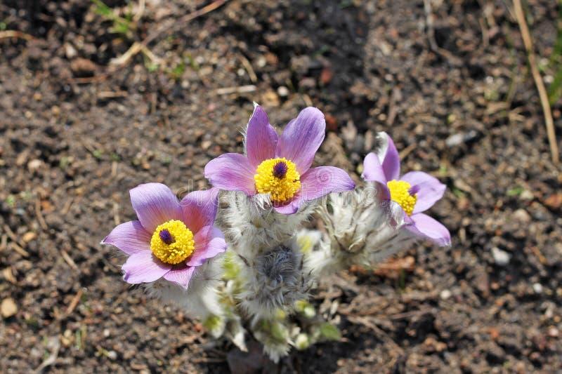 Fleurs de patens de Pulsatilla images libres de droits