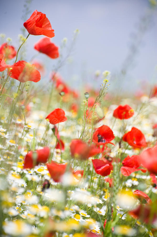 Fleurs de pavot photos stock