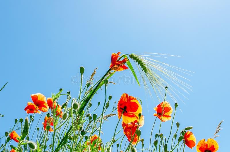 Fleurs de pavot avec du blé vert photographie stock