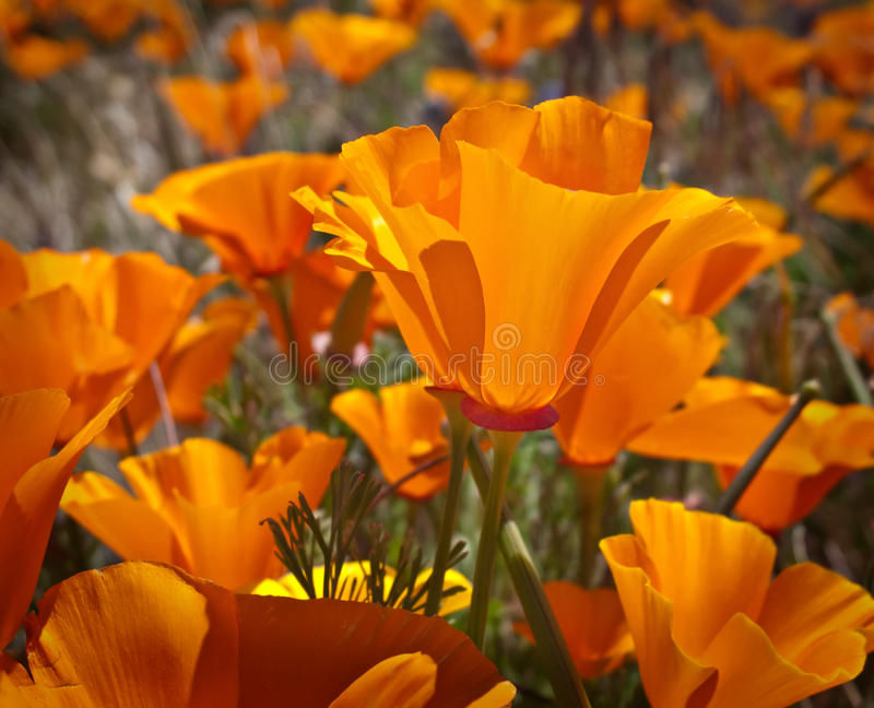 Fleurs de pavot de Californie image libre de droits