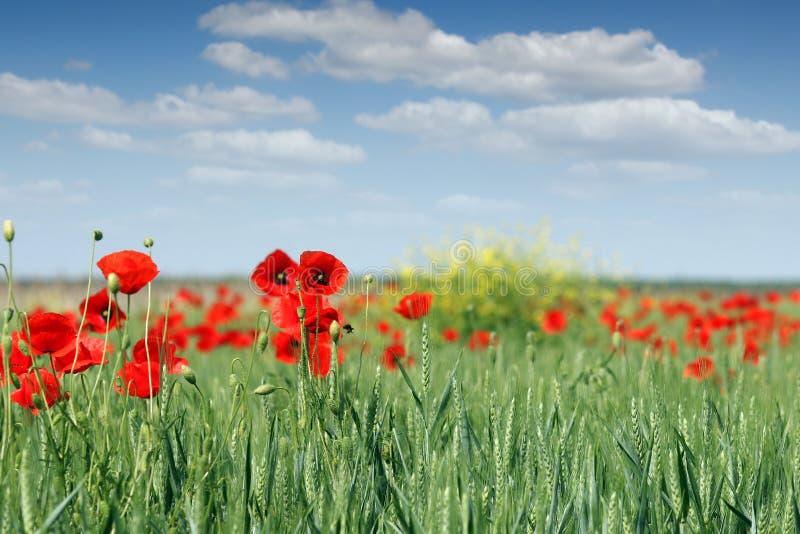 Fleurs de pavot et champ de blé vert image stock