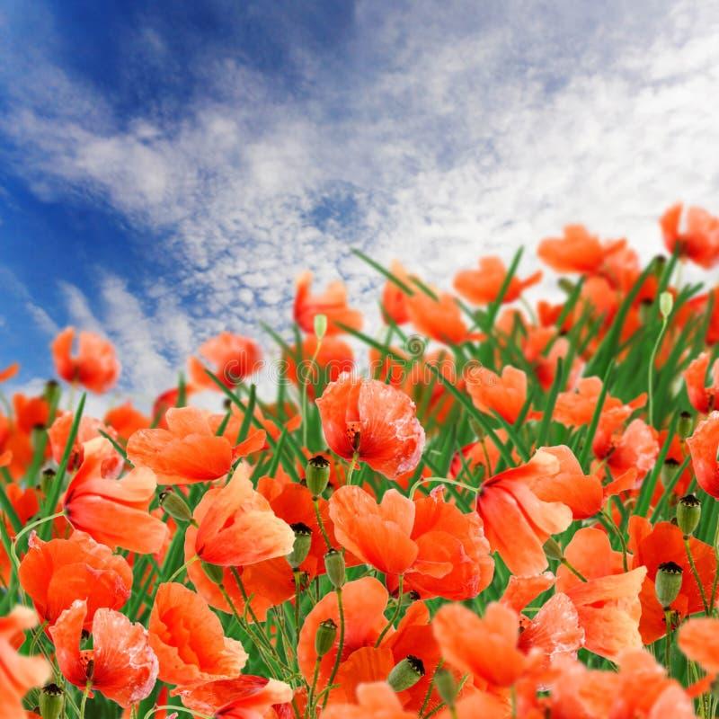 Fleurs de pavot, herbe verte et ciel bleu nuageux photographie stock libre de droits