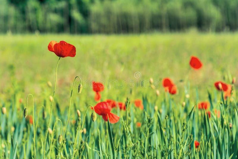 Fleurs de pavot sur un champ rural image libre de droits