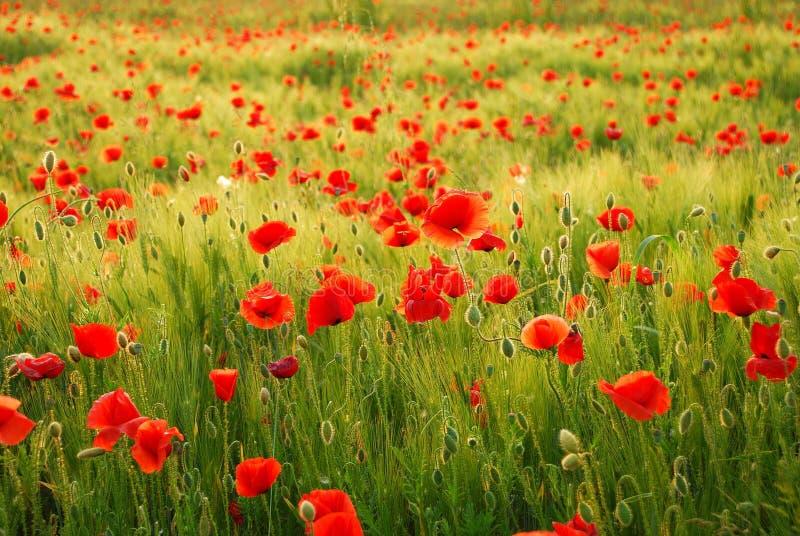 Fleurs de pavots photos stock